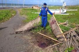 BPSPL Denpasar tangani paus terdampar di Pantai Lembeng