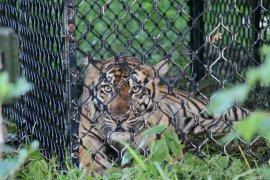 Observasi harimau sebelum proses pelepasliaran