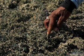 Rumput laut budidaya  di Kupang terserang penyakit