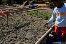Dugaan pencemaran PLTU, PLN tunggu hasil uji laboratorium rumput laut petani