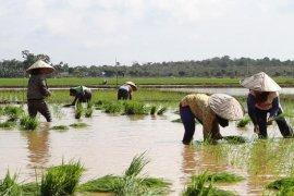 Dinas Pertanian Kalsel optimistis  produksi padi capai 1,5 Juta ton
