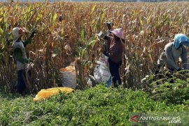 Jember jadi percontohan konsep pertanian cerdas ikim