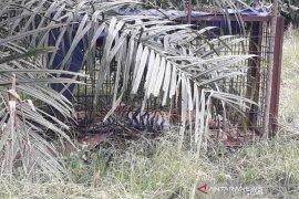 BKSDA Aceh lepas liarkan harimau sumatera ke TNGL