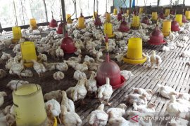 Harga ayam tinggi belum untungkan peternak