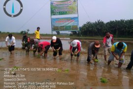 Penuhi Pasokan Pangan, Poktan Rahayu Sari Kecamatan Saketi Gertam Padi 175 Hektar