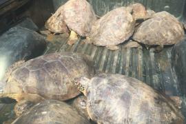 Polisi tangkap pelaku penjual daging penyu hijau