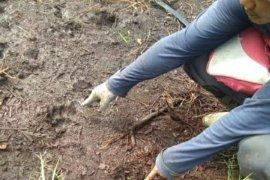 VIDEO - Seekor sapi mati, warga Desa Tenggayun Bengkalis temukan jejak harimau