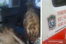 Ambulans desa dipakai angkut kambing, Wabup Lumajang geram dan perintahkan periksa kades