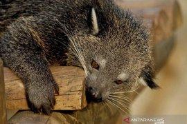 """""""Kucing beruang"""" diduga jadi dalang pengisap darah ratusan ternak di Taput"""