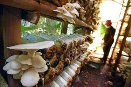 Bisnis Jamur Tiram Tetap Eksis Di Masa Pandemi Page 1 Small