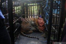 Harimau sumatera Masuk Perangkap BKSDA Page 1 Small