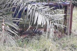 Seekor harimau sumatera ditemukan mati di Aceh Selatan