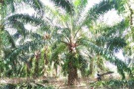 Lahan perkebunan kelapa sawit di Mukomuko berkurang