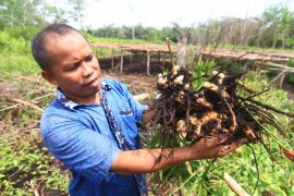 Tanpa membakar, M Yasin olah lahan gambut jadi lebih ramah tanaman
