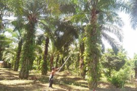 Mukomuko tentukan koordinat lahan penerima peremajaan sawit