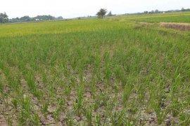 1.300 hektare tanaman padi di Indramayu terancam gagal panen