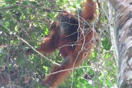 """BBKSDA Sumut lepasliarkan orangutan """"Maria"""" ke TNGL"""