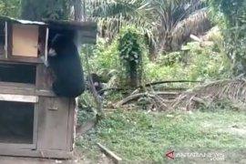 Dua Beruang gegerkan warga Kotogasib Siak, BBKSDA pasang perangkap