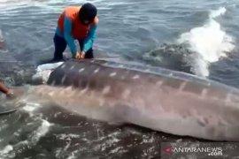 BKSDA Jember imbau warga tidak konsumsi daging ikan hiu yang mati terdampar