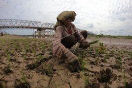 Menanam padi di tepian Sungai Batanghari
