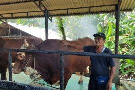 Jokowi berkurban di Jambi dengan bobot sapi satu ton lebih