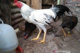 Ratusan ekor ternak ayam mati mendadak di Taput, terlihat menggigil hingga feses mengapur