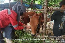 Kebutuhan hewan kurban di Belitung capai 2.050 ekor