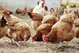Aktivis lingkungan harapkan peternak ayam tinggalkan kandang baterai