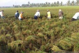 Cegah masalah gizi anak, Kalbar  gencarkan penanaman padi Inpari IR Nutri Zinc