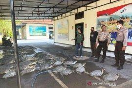 Polisi tangkap penyelundup 36 ekor penyu hijau di Bali