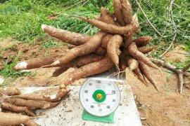 Balitbangtan perkenalkan dua varietas ubi kayu guna tingkatkan produktivitas