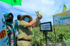 Wali Kota dan Ketua PKK panen melon di Cempaka