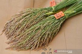 Kementan dukung Purwakarta tanam padi gogo di lahan bekas tebangan