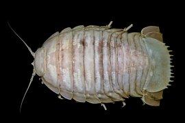 """LIPI temukan """"kecoak laut raksasa"""" pertama laut dalam Indonesia"""