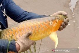 Ekspor ikan Arwana dibahas di webinar ekonomi Kalbar-China