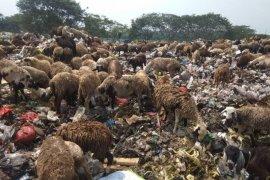 Limbah sampah di Lebak dimanfaatkan untuk pakan domba