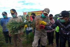 Warga Desa Bagak manfaatkan lahan kosong perusahaan untuk budidaya jahe merah