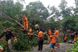 Angin kencang tumbangkan pohon besar di Putussibau