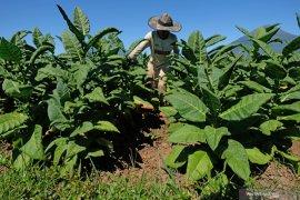APTI minta pemerintah kaji ulang kebijakan yang sengsarakan petani tembakau