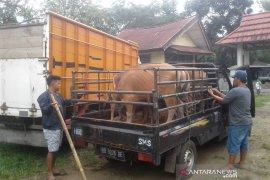 Rejang Lebong tingkatkan pengawasan hewan kurban