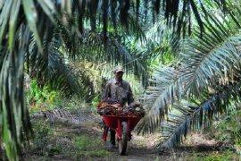 Petani mengangkut buah  sawit di Muara Sabak Barat