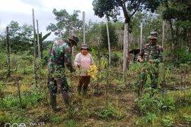 Satgas TMMD bantu warga panen cabai di ladang