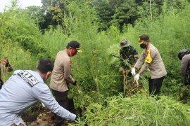 Polda Aceh musnahkan 10 hektare ladang ganja di Aceh Besar