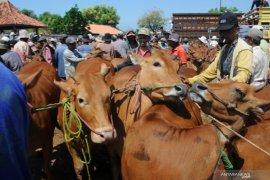 Harga sapi Madura naik