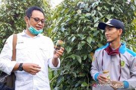 Produksi lada Bubuk Batu Layar cara petani Sendoyan tingkatkan nilai tambah