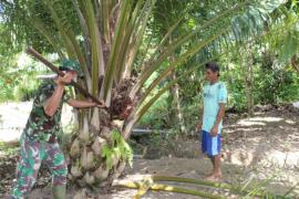 Personel TMMD 108 belajar panen buah kelapa sawit