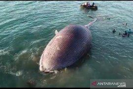 Paus biru terdampar dan mati  di pesisir pantai Kupang