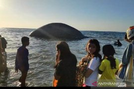 Paus biru mati hilang dari lokasi terdampar
