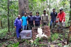 BKSDA Maluku lepasliarkan puluhan satwa liar endemik
