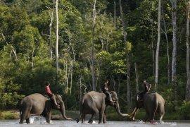 Pergerakan gajah sumatera akan dipantau melalui satelit